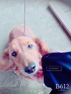 犬,顔,可愛い,ミニチュアダックスフンド,愛犬,足短い