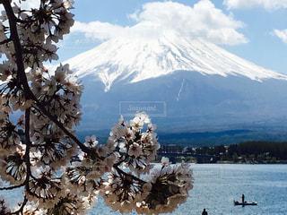 桜の写真・画像素材[473776]