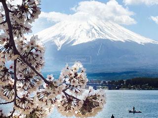 桜の写真・画像素材[473804]