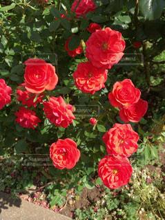 花の写真・画像素材[530782]