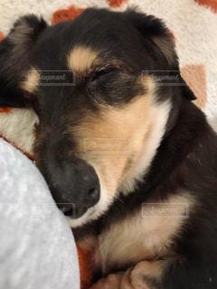 犬,かわいい,寝顔,わんこ,ミニチュアダックスフンド,愛犬,黒い,真っ黒