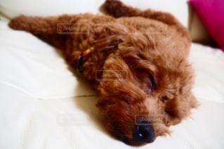犬,ペット,寝顔,トイプードル