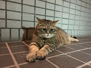もふもふ猫の写真・画像素材[1288950]