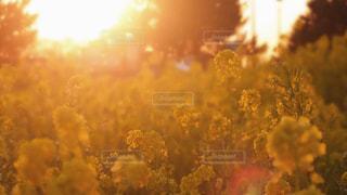 空,夕日,菜の花,夕陽