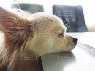 寝顔,犬  ロングコートチワワ
