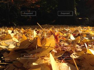 銀杏のじゅうたんの写真・画像素材[874961]