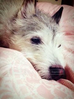 犬,寝顔,わんこ,寝起き,犬寝顔,カメラに気づき目を開ける,お布団大好きわんこ