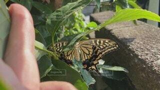 動物,屋外,緑,葉,蝶,草木,花粉媒介,蛾や蝶