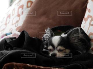 犬,チワワ,コート,ペット,寝顔,癒し,お昼寝,ロングコートチワワ,愛犬,小型犬,ブラックタンホワイト