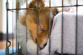 犬,寝顔,子犬,シェルティ,ケージ,ギュッ