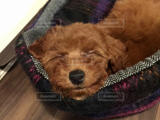 犬,かわいい,スマイル,ペット,寝顔,笑顔,可愛い,子犬,トイプードル,変顔,お昼寝,愛犬,レッド,パピー,笑い,熟睡,笑える,2ヶ月,生後二ヶ月