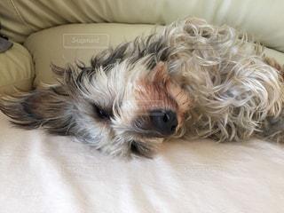 ペット,わんこ,犬の寝顔,スヤスヤ