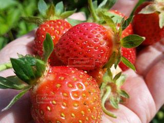 近くに赤い果実のの写真・画像素材[928091]