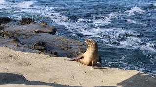 浜辺のアザラシの写真・画像素材[2332995]
