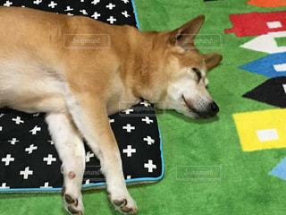 犬,mix,保護犬,雑種,ミックス,柴コギ,元ふれあい犬