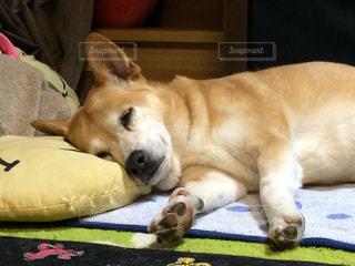 犬,寝顔,寝る,雑種,二重アゴ