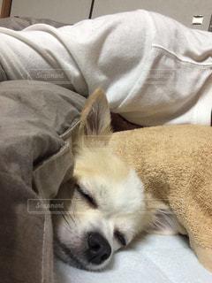 犬,チワワ,寝顔,小型犬,パーティーカラー
