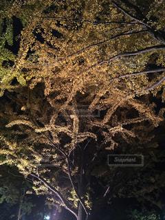 自然,秋,紅葉,北海道,10月,札幌市,モミジ,北大いちょう並木