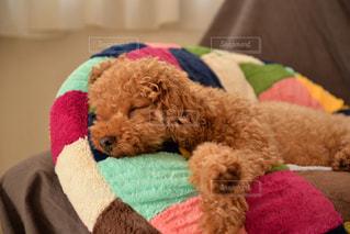 犬,かわいい,ペット,寝顔,トイプードル