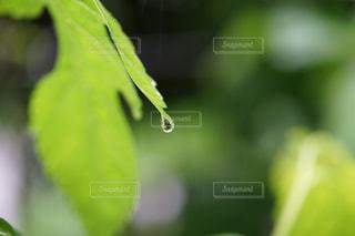 雨,屋外,水,水滴,葉,水玉,雫,しずく,滴,黄緑