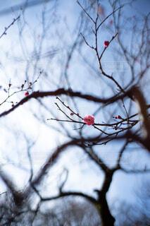 一輪の梅の写真・画像素材[4364344]