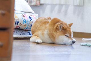 犬,動物,部屋,室内,ペット,寝顔,癒し,柴犬,オス,小型犬,日本犬,豆柴