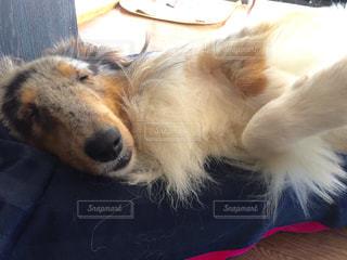 犬,寝顔,シェルティ,シェットランドシープドッグ,犬の寝顔