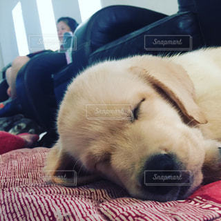 寝顔,癒し,子犬,仔犬,ラブラドール