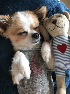 チワワ,寝顔,ぬいぐるみ,可愛い,愛犬,おやすみ,ヘソ天,天使の寝顔,癒しわんこ