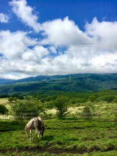 緑豊かな緑の草原で放牧牛の写真・画像素材[1117896]