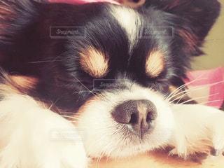 チワワ,寝顔,ロングコートチワワ