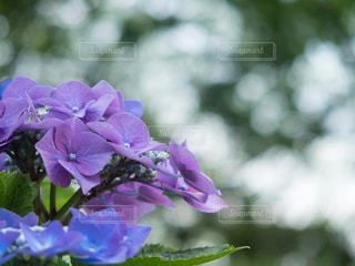 曇天の紫陽花の写真・画像素材[1233940]