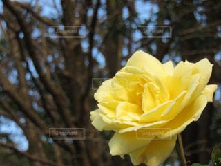 花,黄色,バラ,黄色い花,薔薇,草花,flower,rose,はな,yellow,ばら,広見公園