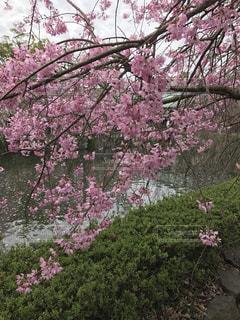 花,桜,flower,はな,ピンク色,さくら,三嶋大社