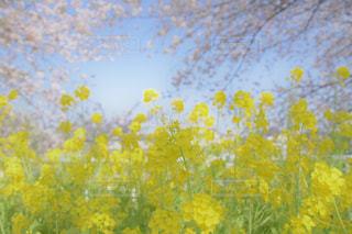 ふんわりしたお花畑の写真・画像素材[1117422]