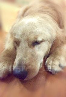 犬,かわいい,ペット,寝顔,お昼寝,大型犬,ゴールデン,ゴールデンレトリーバー