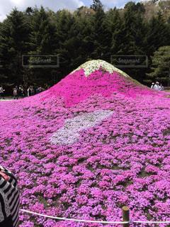 フィールドにピンクと紫の花の写真・画像素材[844969]