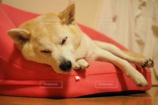 犬,寝顔,柴犬