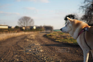 犬,夕焼け,悲しい,柴犬