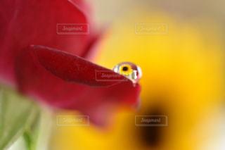 花,水,水滴,家,向日葵,薔薇,水玉,雫,しずく,マクロ