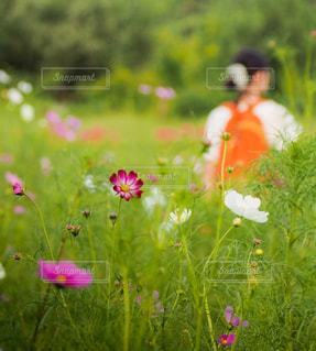 女性,自然,風景,花,秋,花畑,緑,コスモス,季節,女の子,日本,flower,カラー,色,巾着田,フォトジェニック,華やかな