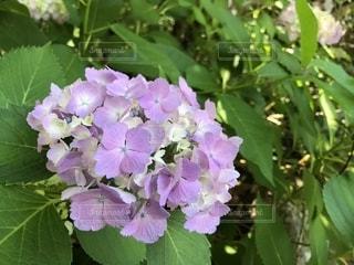花,紫,紫陽花,梅雨,ムラサキ,季節の花,アジサイ