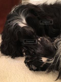 犬,寝る,ブルー,1歳,コッカースパニエル