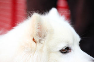犬,動物,ふわふわ,ペット,可愛い,dog,目,わんちゃん,耳,白い犬,動物写真