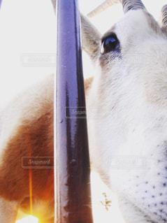 動物,可愛い,アップ,ヤギ,目,動物写真