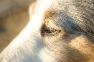犬,動物,ペット,可愛い,アップ,目,わんちゃん,動物写真