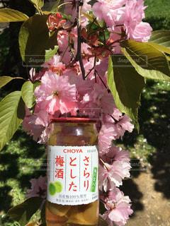 春,梅酒,さくら