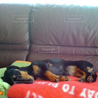 犬,ペット,寝顔,ダックスフント,ダックス,ミニチュアダックス,ブラックタン,ミニチュアダックスフント,スムースコート,スムースダックス