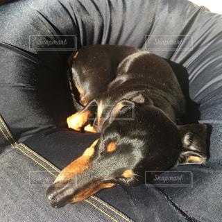 犬,寝顔,クッション,ソファ,ダックスフント,ダックス,ミニチュアダックス,ブラックタン,ミニチュアダックスフント,スムースコート,スムースダックス