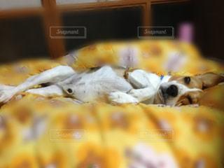 寝顔,ビーグル,ぶさカワ